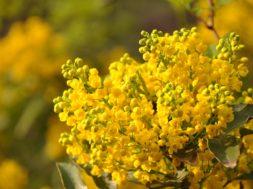 mimosa-2489617_960_720