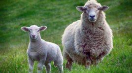 """Fiera Pastorizia Piano Roseto, allevatori non partecipano: """"Siamo stufi e demoralizzati"""""""