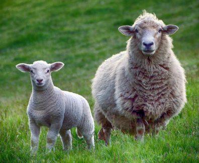fiera pastorizia