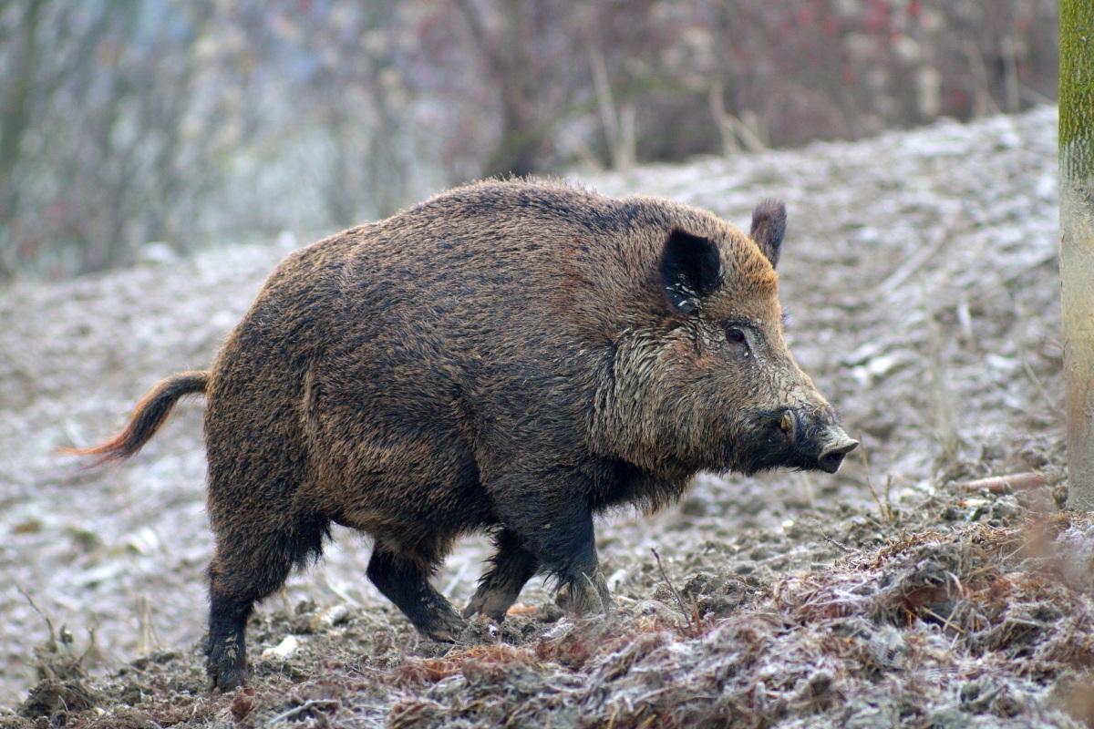 Valle Castellana, danni da cinghiali: Caterini propone l'utilizzo di cacciatori locali
