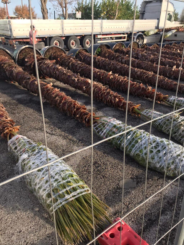 Giulianova, 18 nuove palme Washingtonia per il lungomare